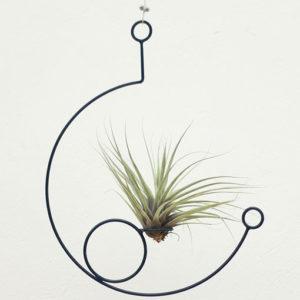 Planta Ornamental Fittonia, abre caminos
