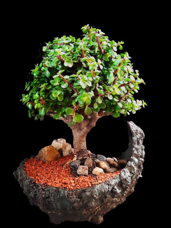 Bonsái Kurama Jade, árbol de la prosperidad y abundancia