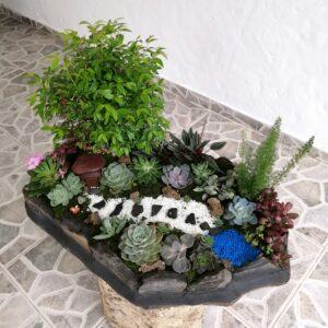 Plantas Ornamentales Suculentas Fittonia Abre caminos Roja