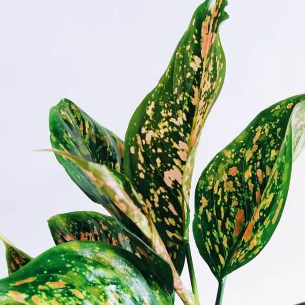 Plantas Ornamentales Suculentas Aglaonema Pink chinese Evergreen Ebani Colombia tienda online de decoración y mobiliario Jardin de julia