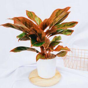 Plantas Ornamentales Suculentas Aglaonema Siam Aurora Ebani Colombia tienda online de decoración y mobiliario Jardin de julia
