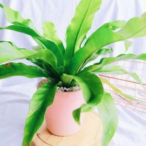 Plantas Ornamentales Suculentas Asplenium Antiquum Helecho Nido de pajaro Ebani Colombia tienda online de decoración y mobiliario Jardin de julia