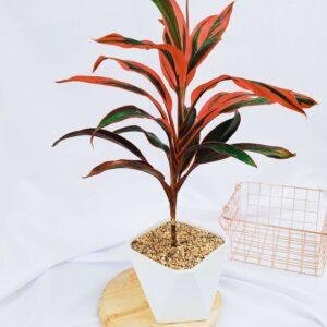 Plantas Ornamentales Suculentas Cordyline Fruticosa Ebani Colombia tienda online de decoración y mobiliario Jardin de julia