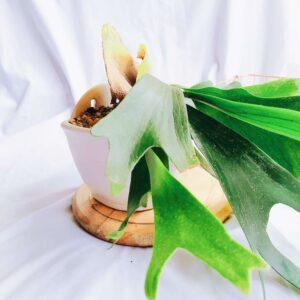 Plantas Ornamentales Suculentas Cuerno de alce Platycerium Bifurcatum Ebani Colombia tienda online de decoración y mobiliario Jardin de julia