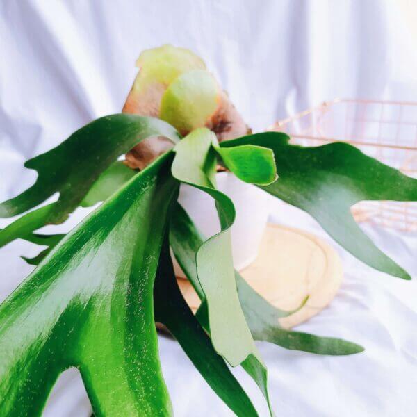 Plantas Ornamentales Suculentas Cuerno de alce Platycerium Bifurcatum