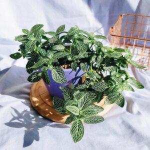 Plantas Ornamentales Suculentas Fottonia Abre caminos Ebani Colombia tienda online de decoración y mobiliario Jardin de julia