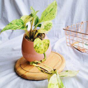 Plantas Ornamentales Suculentas Miami Pothos Ebani Colombia tienda online de decoración y mobiliario Jardin de julia