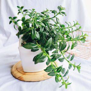 Plantas Ornamentales Suculentas Nematanthus Gregarius Pescadito Ebani Colombia tienda online de decoración y mobiliario Jardin de julia