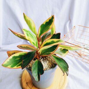 Plantas Ornamentales Suculentas Peperomia Ginny Ebani Colombia tienda online de decoración y mobiliario Jardin de julia