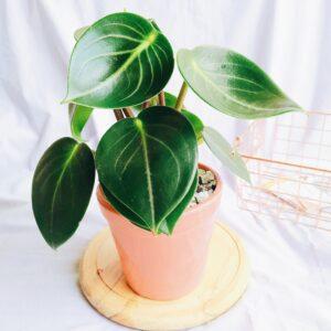 Plantas Ornamentales Suculentas Peperomia Muculosa Ebani Colombia tienda online de decoración y mobiliario Jardin de julia