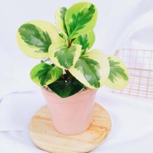 Plantas Ornamentales Suculentas Peperomia Obtusifolia Conga Ebani Colombia tienda online de decoración y mobiliario Jardin de julia