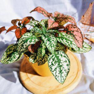 Plantas Ornamentales Suculentas Polka tricolor Abre caminos Ebani Colombia tienda online de decoración y mobiliario Jardin de julia