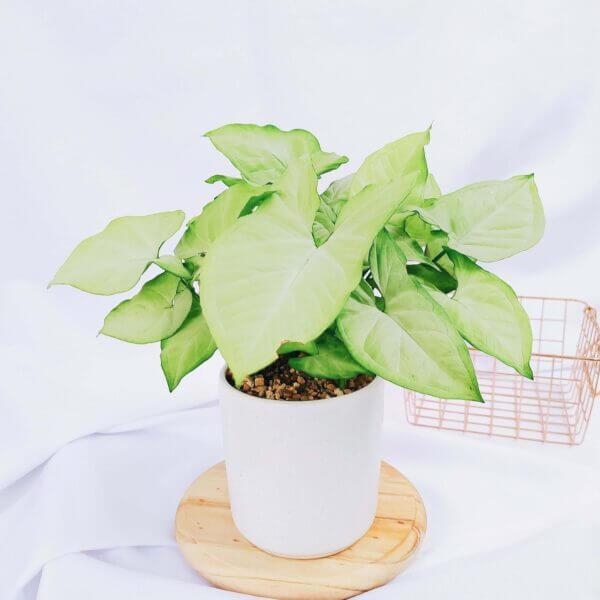 Plantas Ornamentales Suculentas Syngonium Podophyllum Ebani Colombia tienda online de decoración y mobiliario Jardin de julia