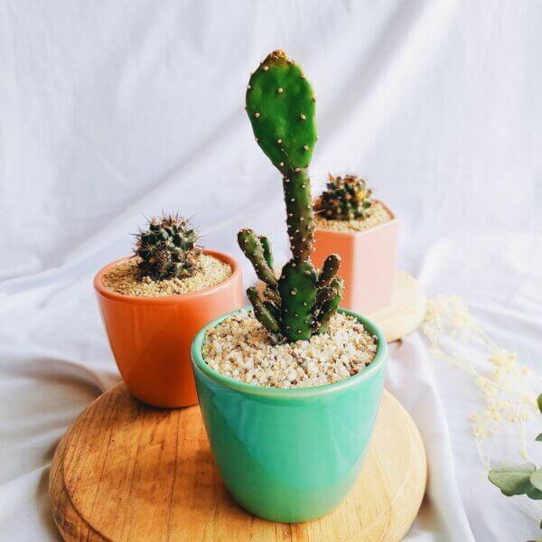 Plantas Ornamentales Suculentas Cactus