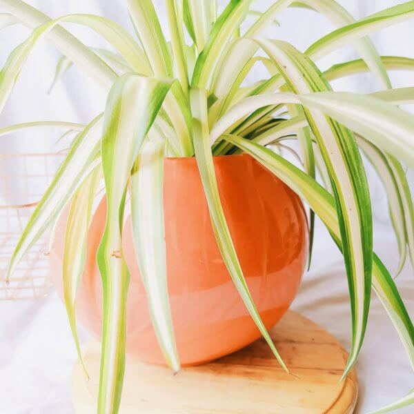 Plantas Ornamentales Suculentas Cinta Chorophytum Comosum