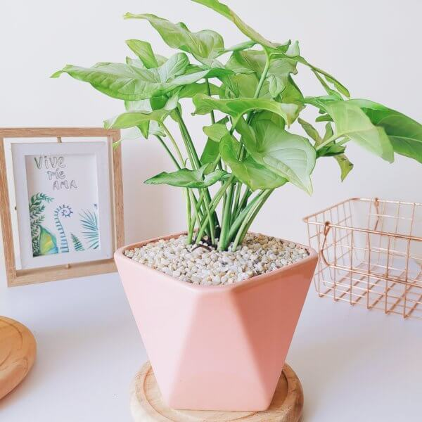 Plantas Ornamentales Suculentas Syngonium Podophyllum