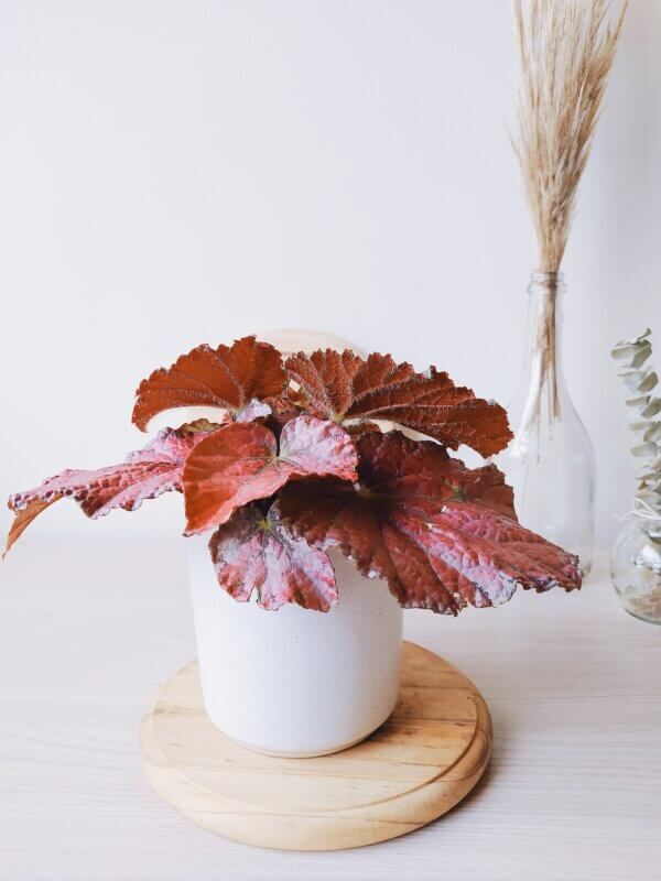 Planta Ornamental Begonia Rex Ebani Colombia tienda online de decoración y mobiliario Jardin de Julia