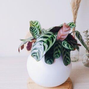 Planta Ornamental Calathea Burle Marxii Ebani Colombia tienda online de decoración y mobiliario Jardin de Julia