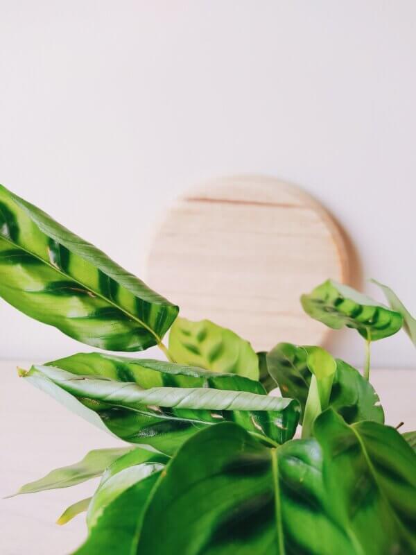 Planta Ornamental Calathea Leopardina Ebani Colombia tienda online de decoración y mobiliario Jardin de Julia