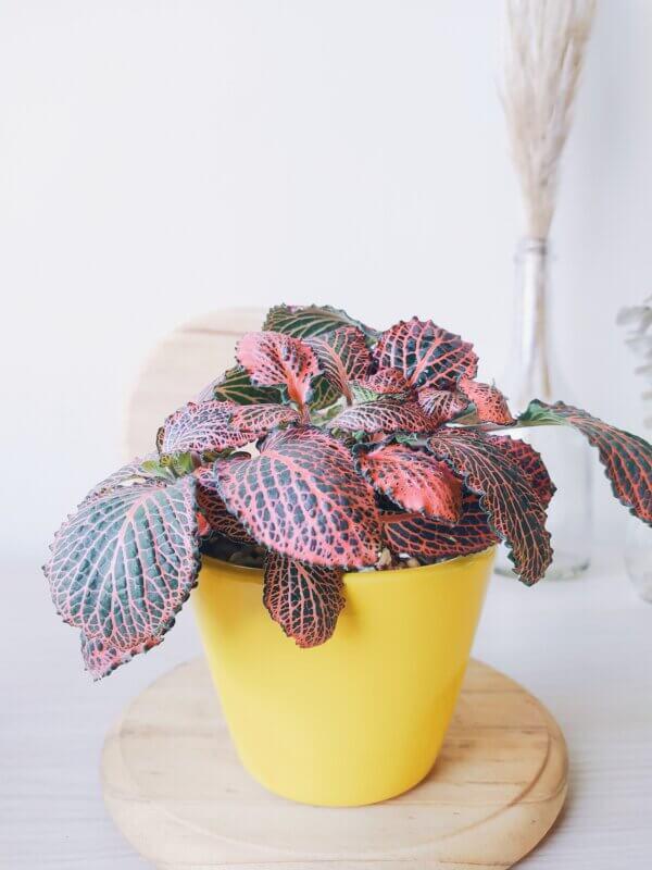 Planta Ornamental Fittonia Rosa, Abre caminos Ebani Colombia tienda online de decoración y mobiliario Jardin de Julia