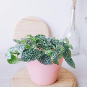 Planta Ornamental Fittonia, abre caminos Ebani Colombia tienda online de decoración y mobiliario Jardin de Julia