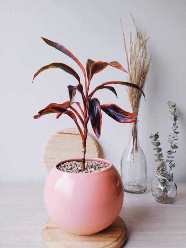 Planta Ornamental Palma Roja, Cordyline Futicosa Ebani Colombia tienda online de decoración y mobiliario Jardin de Julia