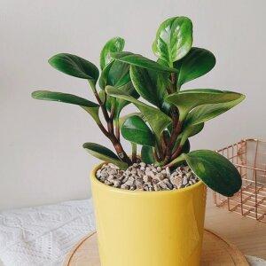 Planta Ornamental Peperomia Conga Ebani Colombia tienda online de decoración y mobiliario Jardin de Julia