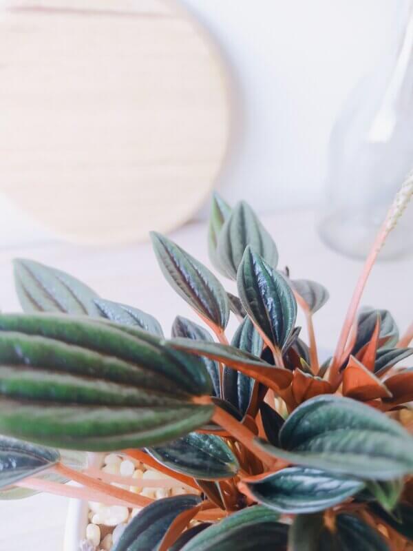 Planta Ornamental Peperomia Rosso Ebani Colombia tienda online de decoración y mobiliario Jardin de Julia
