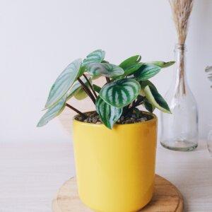 Planta Ornamental Peperomia Watermelon Ebani Colombia tienda online de decoración y mobiliario Jardin de Julia