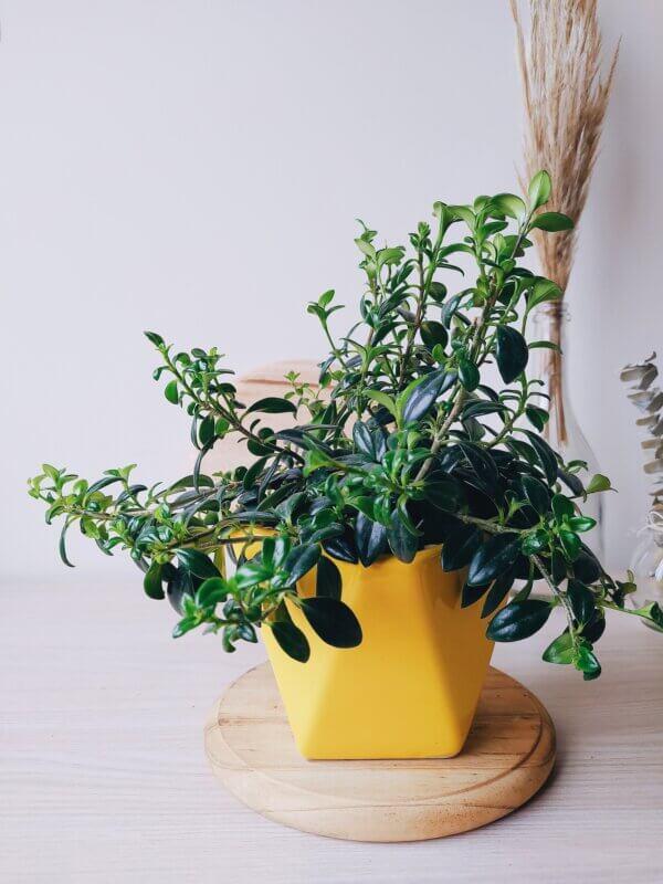 Planta Ornamental Pescadito, Nematanthus Gregarius 3 Ebani Colombia tienda online de decoración y mobiliario Jardin de Julia