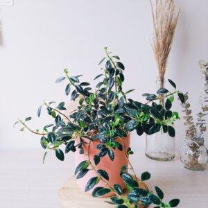 Planta Ornamental Pescadito, Nematanthus Gregarius Ebani Colombia tienda online de decoración y mobiliario Jardin de Julia