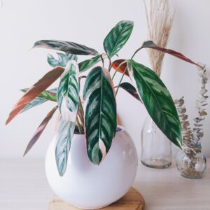 Planta Ornamental Pluma de Indio, Stromanthe Triostar Ebani Colombia tienda online de decoración y mobiliario Jardin de Julia
