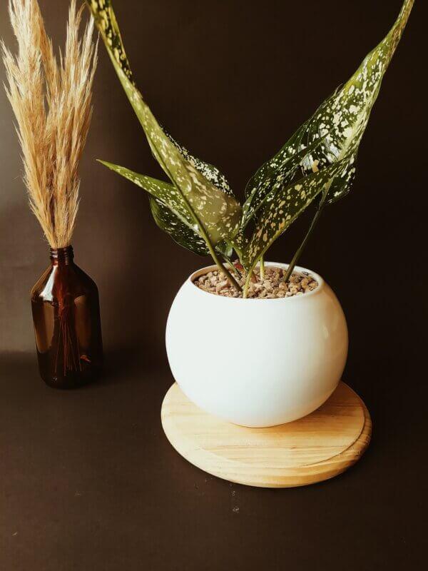 Planta Ornamental Aglaonema Perdiz
