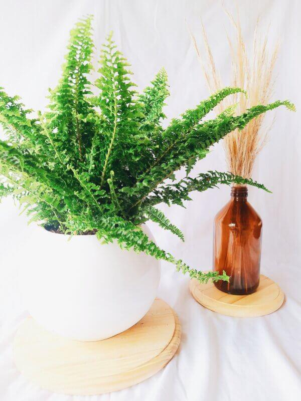 Planta Ornamental Helecho Rizado, Nephrolepis Exaltata