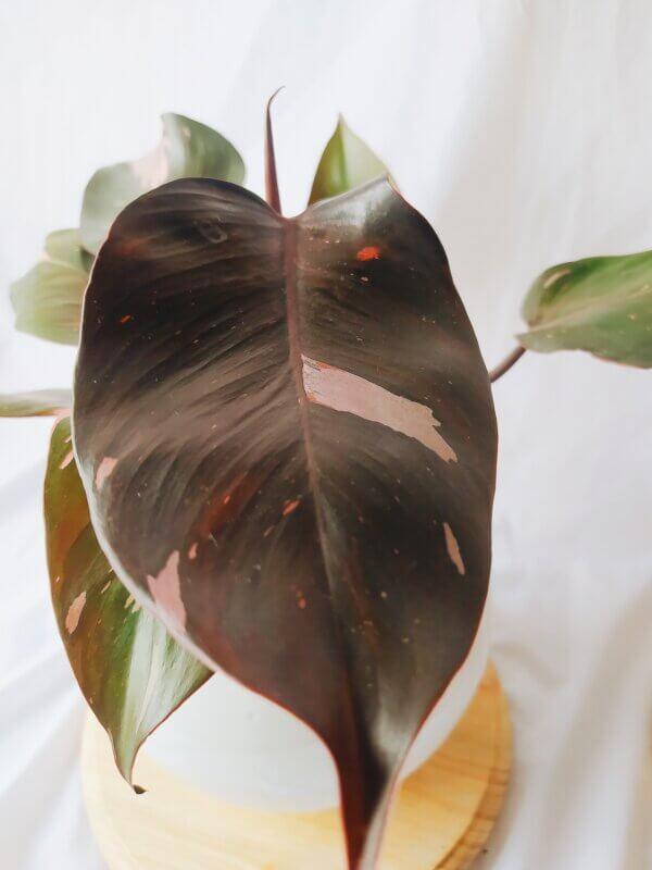 Planta Ornamental Philodendron Pink Princess