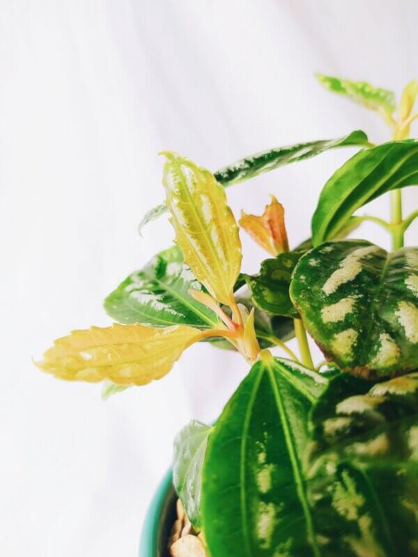 Planta Ornamental Pilea Cadierei