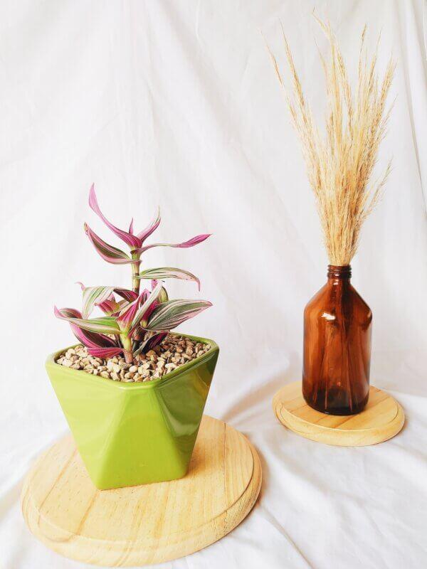 Planta Ornamental Tradescantia Tricolor